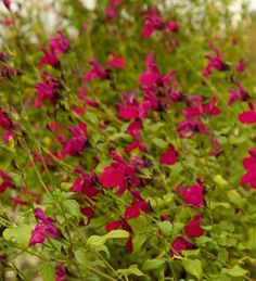 Salvia microphylla are native to the American Southwest, and are a fabulous perennial shrub choice for dryer climates. 'Killer Cranberry' has masses of rich magenta flowers to lure honeybees and hummingbirds to your garden, and superior glossy foliage.