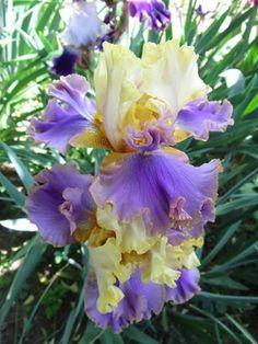 Tall Bearded Iris 'Doodads'