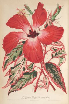 Hibiscus rosa-sinensis 'Cooperi' - circa 1864 - Leaves splashed in white, pink, and rose - Bright red 5 inch blooms - Common in Hawaii, it is usually grown as a houseplant on the mainland