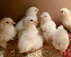 It's been so comforting to hang with the baby chicks over the past two days. They have nothing to worry about except how to eat and drink. They are leghorns, which are the most productive of our layers. More at www.stowefarm.org