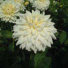 Dahlia White Alvas white giant decorative
