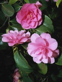Camellias are large shrubs that are popular due to their evergreen, broad leaves and large, showy flowers that bloom from winter through spring. Without adequate yearly pruning,. Camelia Tree, Garden Shrubs, Flowering Shrubs, Trees And Shrubs, Shade Garden, Small Shrubs, Garden Plants, Camellia Plant, Gardening