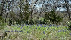 Spotted our State Flower the Bluebonnet beginning to bloom across the street from Holiday Inn Express & Suites today.  Come on down to Glen Rose and enjoy our wildflowers!