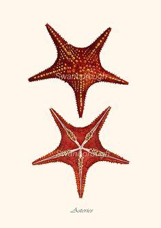 Red Starfish Print - Star Fish - Sea Star - Nautical Home Decor -Sealife - Starfish artprint - Nautical Prints, Vintage Nautical, Nautical Home, Nautical Style, Starfish Art, Seashell Art, Starfish Tattoos, Seashell Crafts, Octopus