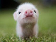 Resultados de la Búsqueda de imágenes de Google de http://www.zastavki.com/pictures/1024x768/2011/Animals_Beasts_Little_pig_028817_.jpg