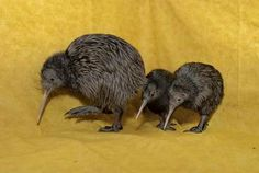 A third Kiwi chick hatched at the Columbus Zoo and Aquarium on Jul. marking the first time an institution in North America has successfully hatched three kiwi in one year. The Columbus Zoo's first hatching of the North Island. Jungle Animals, Cute Baby Animals, Odd Animals, Reptiles, Mammals, Baby Kiwi, Melanistic Animals, Columbus Zoo, Kiwi Bird