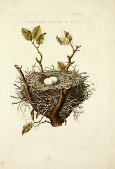 botanical / illustration of nest with eggs in it