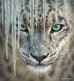 Okay, not a tiger, but a snow leopard.  Still...those eyes...