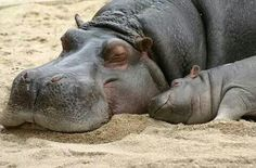 Hippos Photo: Mom and baby hippo – Animals The Animals, Cute Baby Animals, Funny Animals, Sleepy Animals, Wild Animals, Mother And Baby Animals, Amazing Animals, Animals Beautiful, Cute Hippo
