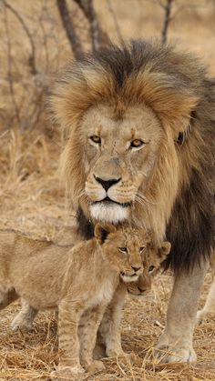 Even the King Of The Jungle has to watch the kids! (lion, male, lion cubs, family, africa, predators)