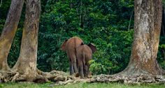 African forest elephants return to the jungle, revealing their pretty bum. #travel #Africa #wildlife #wild #animals #nature #wilderness #forest #elephants #destinations #places #see #photography #bottom #bum #trees African Forest Elephant, Asian Elephant, Elephant Love, African Safari, Elephant Species, Rainforest Habitat, Elephant Facts, Forest Ecosystem, Tropical Forest