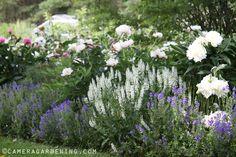 White Peony and Salvia Schneehugel