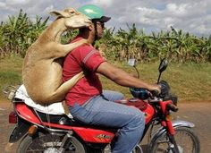 A man and a Goat Take a Ride in Peru