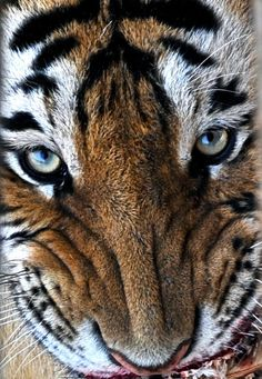 Siberian Tiger, on Explore! July 8, 2013 by cowboy6688, via Flickr