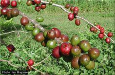 """One of my childhood favorite fruits """"JOCOTES"""" El Salvador Food"""