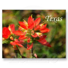 Texas Indian Paintbrush Wildflower Postcard