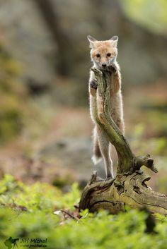 Red Fox by Jiří Míchal on 500px