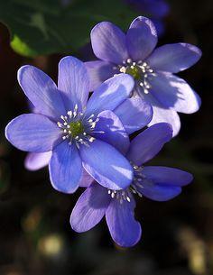 Who Cares About Monday Blues ?Liverwort / Leberblümchen (Anemone hepatica) Old Botanical Garden, Frankfurt