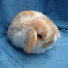 Such a fluffy bunny! Baby Animals Super Cute, Cute Baby Bunnies, Cute Little Animals, Cute Funny Animals, Cute Bunny Pictures, Baby Animals Pictures, Cute Animal Pictures, Baby Pictures, Cute Puppies