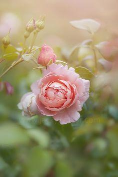 Rosa 'Strawberry Hill' by Jacky Parker