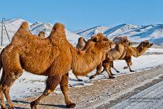 Camel crossing in Terij National Park -Mongolia