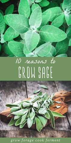 Sage is an awesome herb you should be growing for many reasons! Let's explore some of the many ways growing sage can be beneficial for your garden, your palate, and your health. Here are 10 reasons to grow sage! Edible Garden, Vegetable Garden, Garden Plants, Veggie Gardens, Healing Herbs, Medicinal Herbs, Salvia, Growing Plants, Growing Vegetables