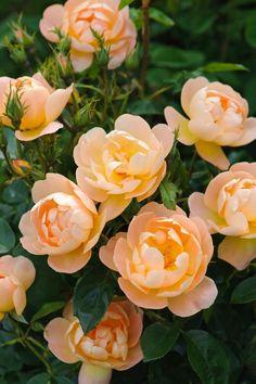 ~The Lark Ascending (David Austin English Roses /2012)