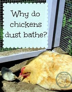 Why Do Chickens Dust Bathe? - The Cape Coop