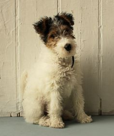 Nutmeg 12 weeks  Wire Haired Fox Terrier. A bit of a rogue if I'm not mistaken !