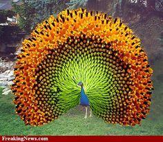 Sunflower Peacock