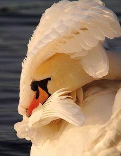 Mute Swan dazzling in the sun . Swan Love, Beautiful Swan, Beautiful Birds, Animals Beautiful, Swans, Animals And Pets, Cute Animals, Mute Swan, Chow Chow