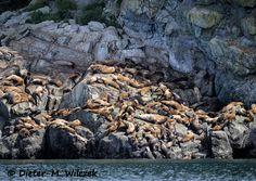 Stellersche Seelöwen / Golf von Alaska