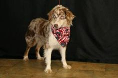 Laya is an adoptable Australian Shepherd Dog in Mount Vernon, OH. This pretty girl is super smart and super loving. She needs a bit of work training wise but catches on pretty quick. She loves to run ...