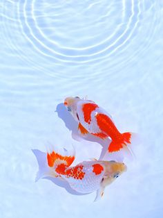 Japanese summer, Kingyo. 澄み切った水に映える紅白の金魚と波紋、日本の夏。 Beautiful Fish, Beautiful Horses, Goldfish Pond, Water Aesthetic, Golden Fish, Cute Fish, Doja Cat, Exotic Fish, Colorful Fish