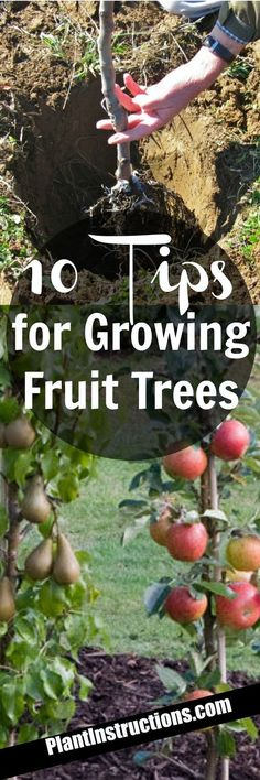 Indoor Vegetable Gardening Growing Fruit Trees - Today we'll show you 10 tips for growing fruit trees so that you can have the most bountiful, beautiful fruit trees ever! Indoor Vegetable Gardening, Organic Gardening, Container Gardening, Gardening Tips, Arizona Gardening, Veggie Gardens, Fruit Tree Garden, Garden Trees, Garden Plants