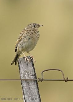 mis fotos de aves: Anthus furcatus Cachirla uña corta Short-billed pi...