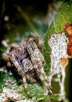 Araña de Jardín Europea