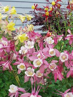 Aquilegia Mckana Hybrids  All columbines are delightful, with graceful nodding heads in Spring, but Mckana Hybrids are larger, hardier, and come in an array of soft pastels.  Appreciates a little afternoon shade.
