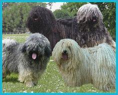 Hungária Puli Club web site Puli Dog, Herding Dogs, Dog Show, Wonders Of The World, Dog Breeds, Your Dog, Club, Ideas, Shepherd Dog