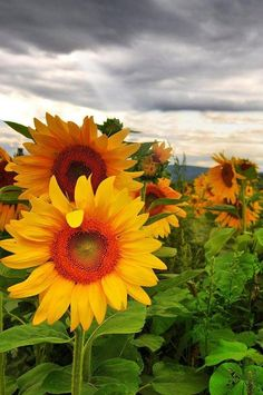 Sunflowers with a storm brewing