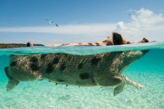 Плавающие свиньи на Багамах. Свиньи острова Биг Мэйджор Кей. Уникальный Остров Свиней, где можно купаться в океане и загорать на пляже с настоящими свиньями.