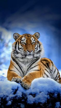 Big Cats, Cats And Kittens, Cute Cats, Animals And Pets, Funny Animals, Cute Animals, Wild Animals, Beautiful Cats, Animals Beautiful