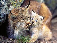 Found on the Iberian peninsula (Spain and Portugal) the extinction of the Iberian lynx would actually be the first of all the feline species...