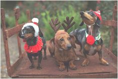 If you want a dog you can dress up, get a dachshund!