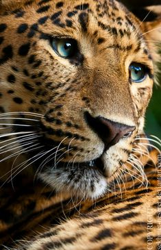Love those gorgeous eyes! <3 Leopards & other exotic animals are often kept as private pets. They spend many lonely years in a cage, far away from their own kind... like Tony the truck stop tiger in a cage for 10yrs!