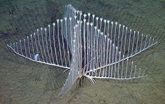 """Seria essa mais uma ponte de arquitetura duvidosa? Não! Esta é """"Chondrocladia lyra"""", uma espécie de esponja carnívora descoberta nas profundezas do Oceano Pacifico.  Foto: Monterey Bay Aquarium Research Institute"""