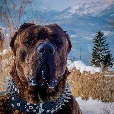 Italian cane Corso mastiff