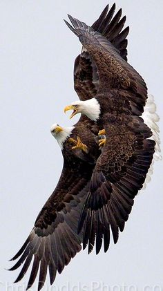 THE TANGO by Christopher Dodds on Here's one from my annual BALD EAGLE WORKSHOP - it's always a blast with tons of Eagles! A mated pair of American Bald Eagles fight over a fish in mid air over Kachemak Bay near Homer, Alaska. All Birds, Birds Of Prey, Love Birds, Beautiful Birds, Animals Beautiful, Angry Birds, Photo Aigle, The Eagles, Bald Eagles