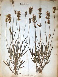 fleurs herbier - fleurs herbier - lavande - Gravures, illustrations, dessins, images