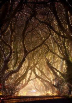 霧の朝、ダーク·ヘッジス、アイルランドの写真